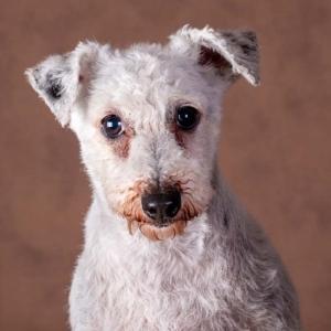 Jack russel terrier in de studio