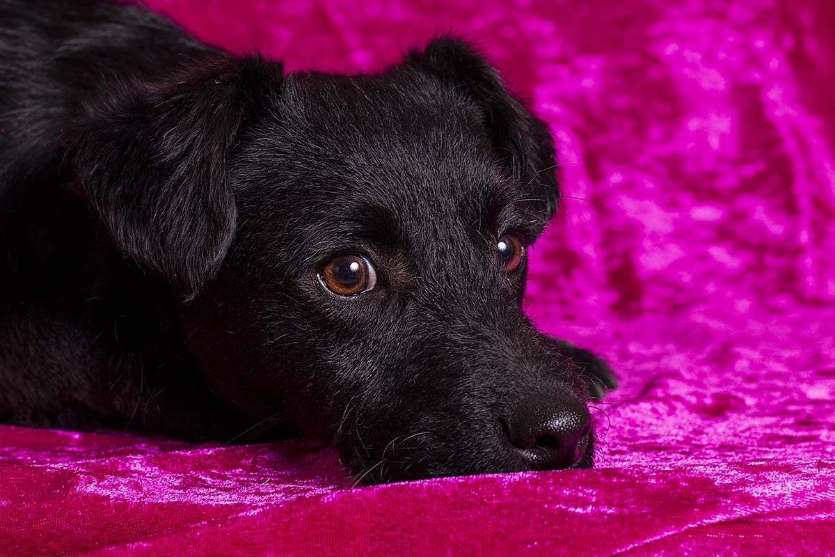 Sammy in de studio op roze fluweel