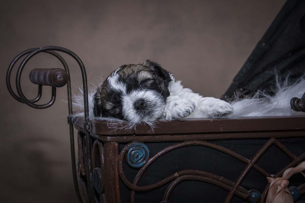 pup in een poppenwagen