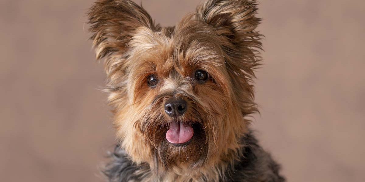 Yorkshire terrier in de studio