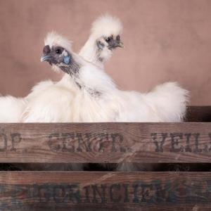 Kippen in een veilingkist