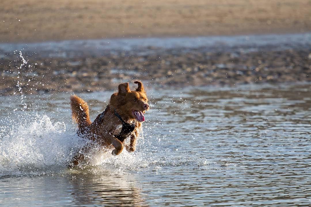 Actie hond rent door het water