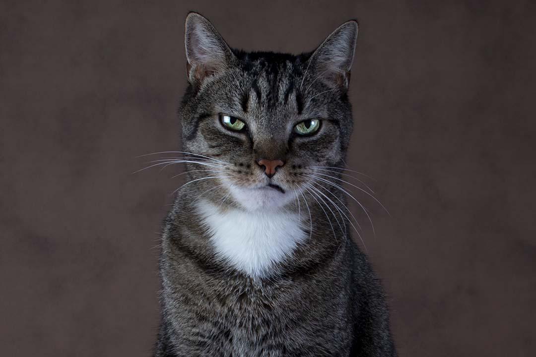 Tijger kijkt boos