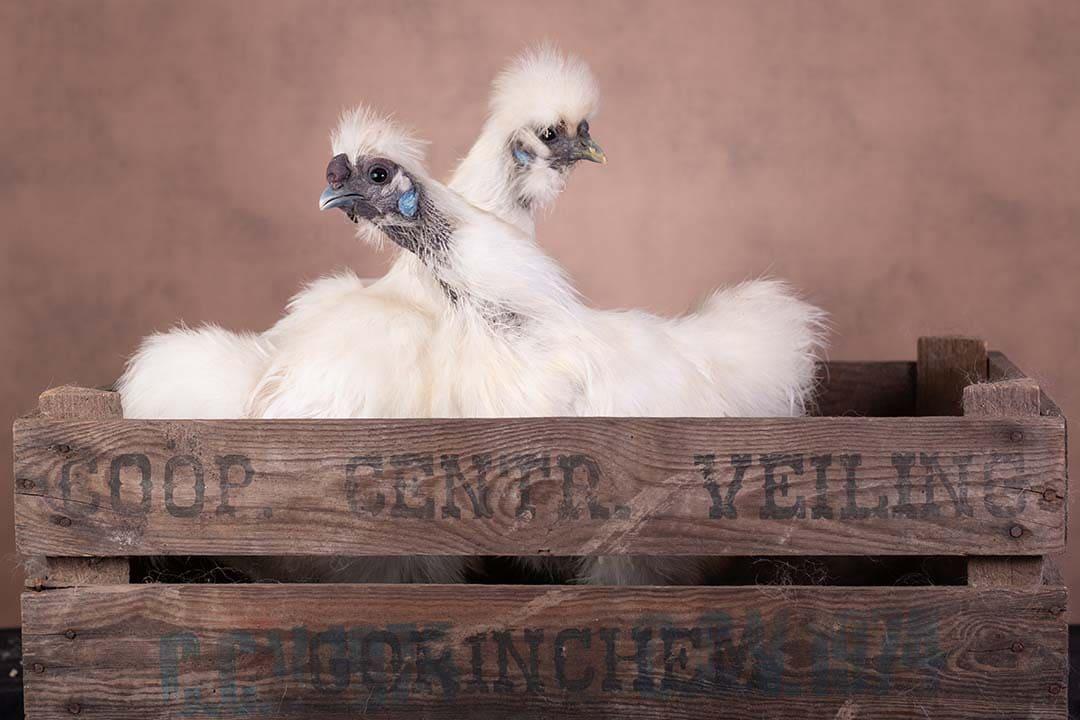 Ja de kippen bleven zitten