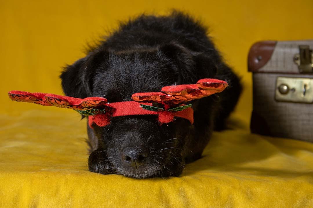 diadeem valt voor ogen hond