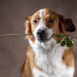 Valentijns hond