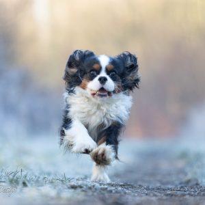 rennende cavalier in het bos