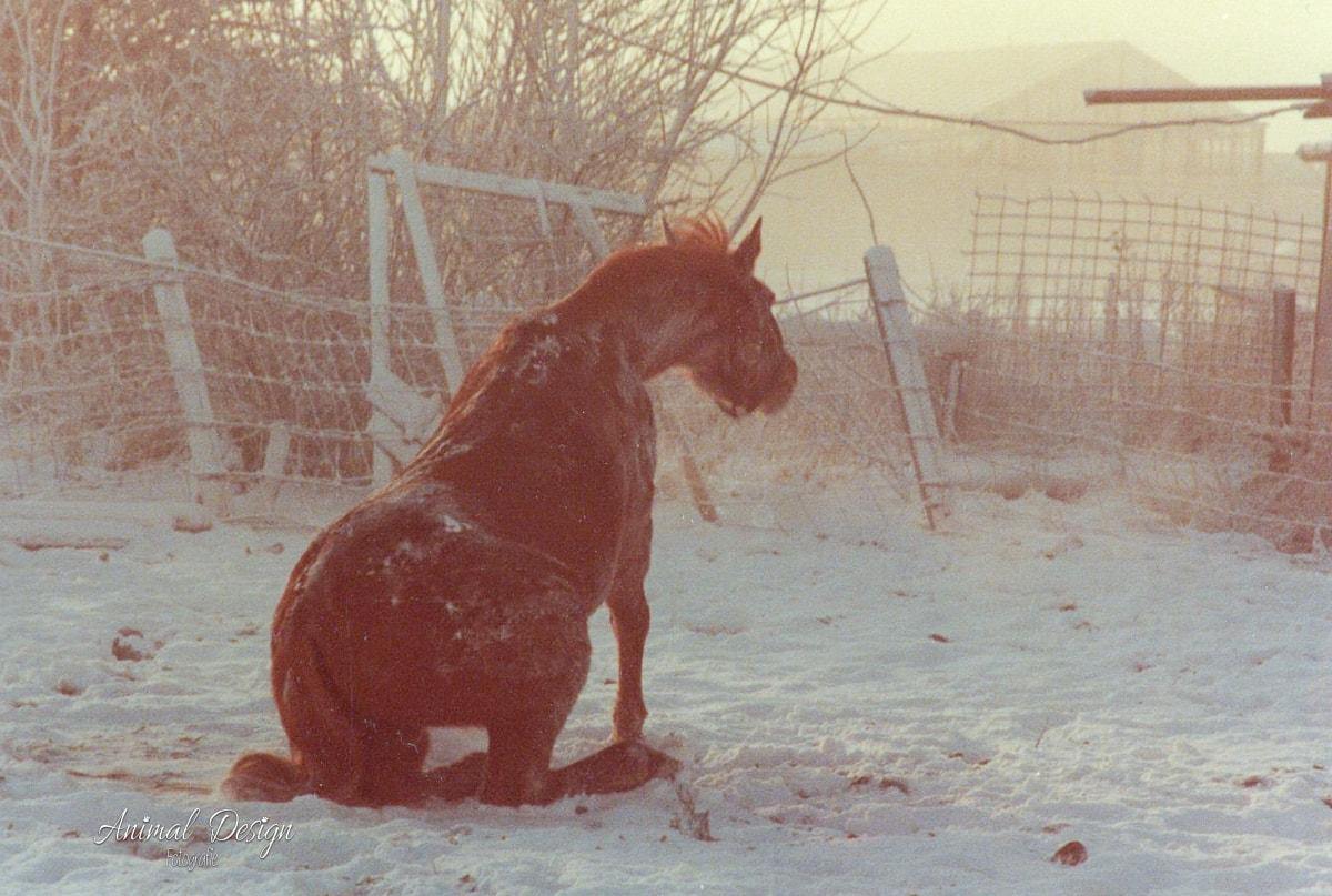 Terug in de tijd : zittend paard in de sneeuw - 19/801981