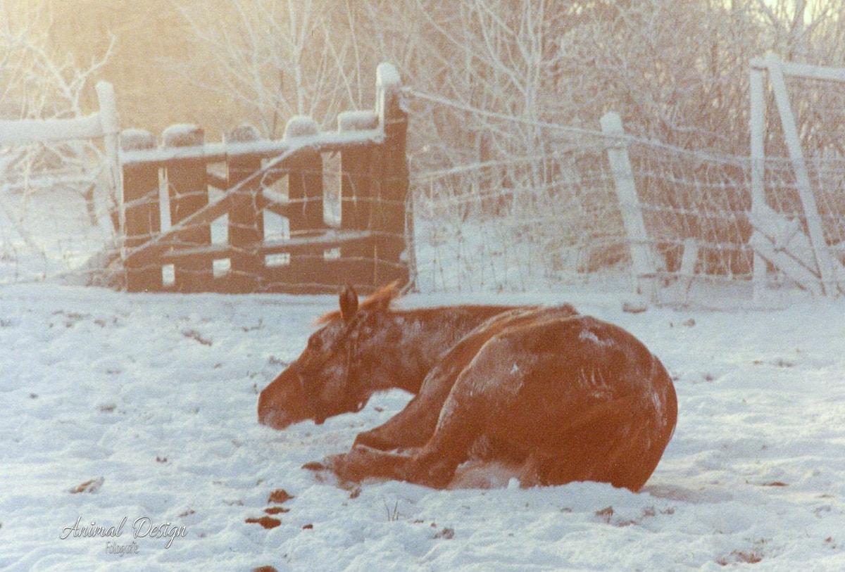 Terug in de tijd: paard ligt te rollen in de sneeuw, 1980/1981