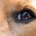 oog van hond