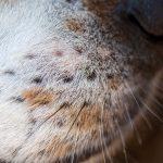 snorharen van een hond