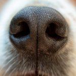 neus van een hond
