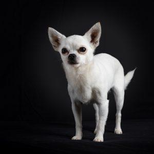Chihuahua in zwarte studio